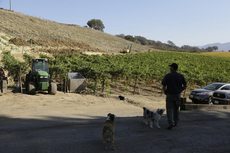 """In this Wednesday, Nov. 6, 2019 photo, partner Bret Munselle of Munselle Vineyards stands with his dogs and looks out at the hillside where he lost about half of the young vines he had planted before a fire raged through the upper part of his ranch in Geyserville, Calif. It could have been much worse if mature vineyards were more appealing to fire. Water-rich vines and grapes planted in plowed rows don't offer them much fuel, he said. """"My family has lived on this property for 130 years,"""" Munselle said. """"We've never seen it burn from the tops of mountains to the valley floor."""" (AP Photo/Eric Risberg)"""
