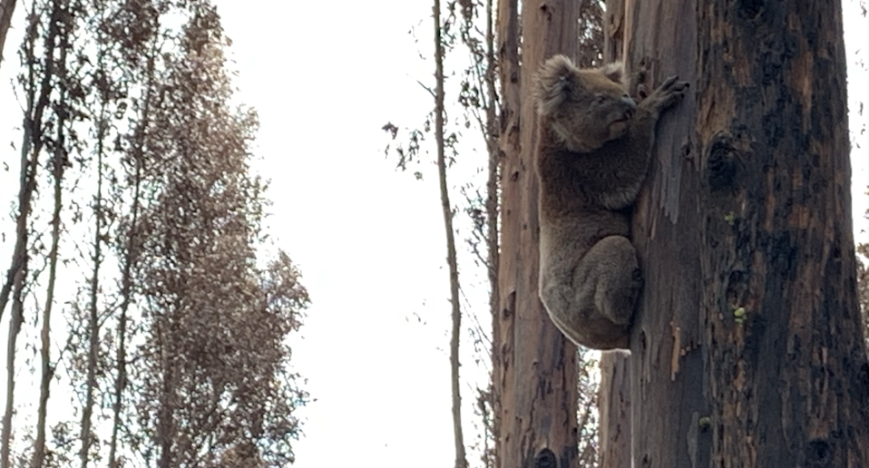 A koala in a burnt out forest clings to a tree on Kangaroo Island.