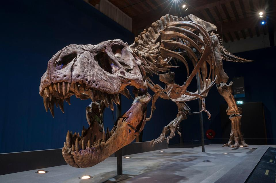 Trix, a 39ft-long Tyrannosaurus Rex skeleton which weighs the same as four cars (PA)