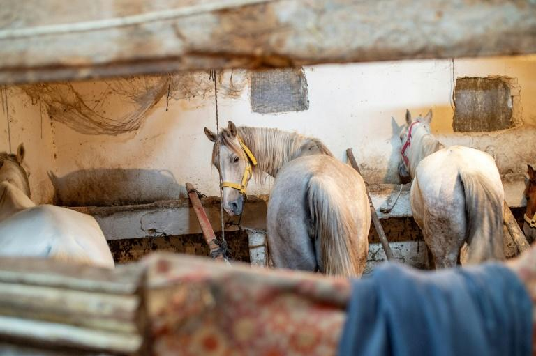 There has been mounting alarm over the welfare of the horses, with a parliament committee reporting that up to 400 were dying on the islands a year (AFP Photo/Yasin AKGUL)