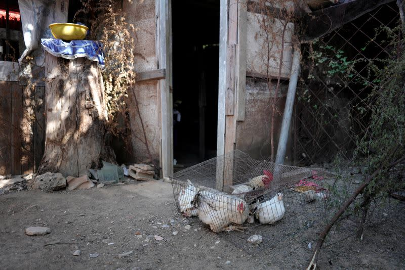 Poultry that are meant to be used in a sacrifice ritual of the Afro-Cuban religion Santeria are kept in a cage amid concerns about the spread of the coronavirus disease outbreak in Havana