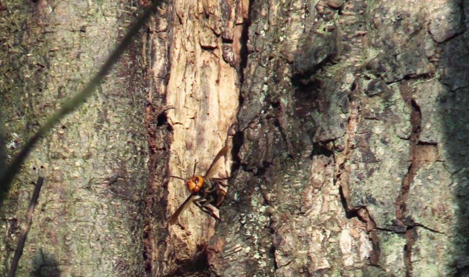In this still image taken from video provided by the Washington State Dept. of Agriculture, an Asian Giant Hornet is shown emerging from a nest in a tree, Thursday, Oct. 22, 2020 near Blaine, Wash. The nest is the first of the so-called murder hornets to be found by scientists in the United States and workers hope to destroy the nest on Saturday, Oct. 24, 2020, to protect native honeybees. (Karla Salp/Washington Dept. of Agriculture via AP)