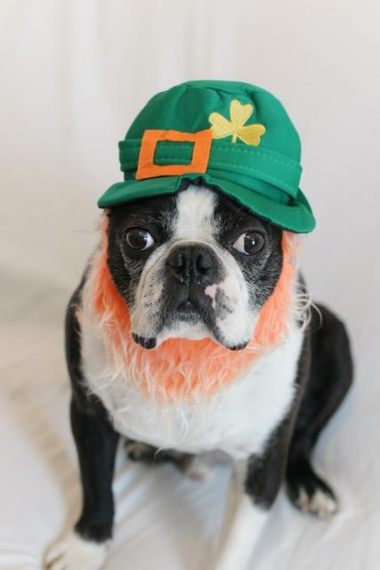 A dog dressed up for St. Patrick's Day (Bryn Nowell / A Dog Walks into a Bar)