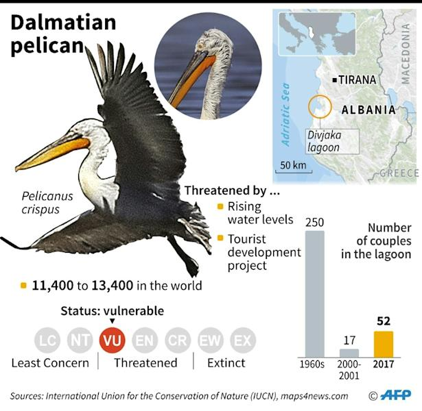 The Dalmatian Pelican, which is back in the Divjaka Lagoon in western Albania