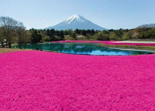 Phlox and the Ryujin Pond on the premises. At that time, Mount Fuji's peak is still covered in snow.