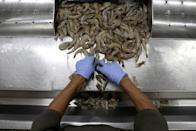 A worker processes shrimp on a production line at a processing factory in Maracaibo