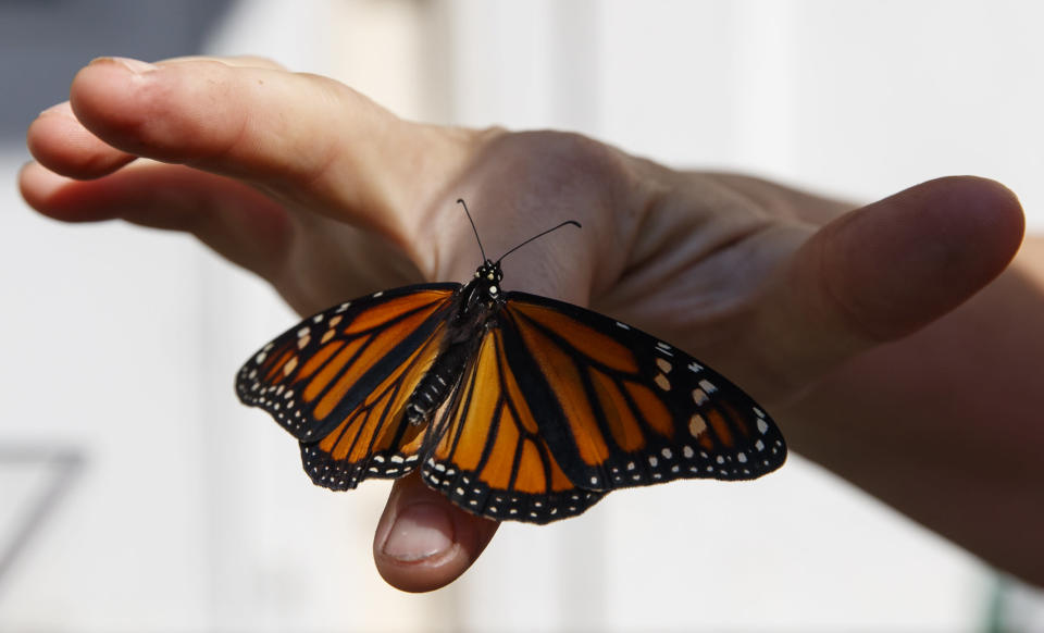 Laura Moore displays a newly emerged monarch butterfly on her finger in her Greenbelt, Md., yard, Friday, May 31, 2019. Despite efforts by Moore and countless other volunteers and organizations across the United States to grow milkweed, nurture caterpillars, and tag and count monarchs on the insects' annual migrations up and down America, the butterfly is in trouble. (AP Photo/Carolyn Kaster)