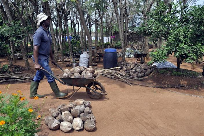 A man wheels coconuts in a barrow at the Centre Songhai, an organic farm in Porto Novo, Benin, on January 30, 2014 (AFP Photo/Charles Placide Tossou)