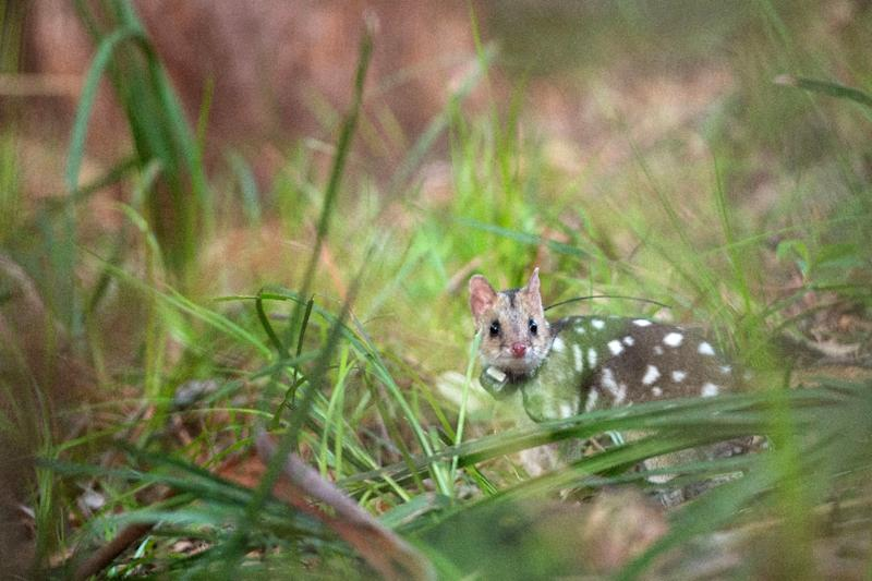 The eastern quoll has been re-introduced to the east coast of Australia after a 15-year project to bring feral predators in one area under control (AFP Photo/Morgan CARDIFF)