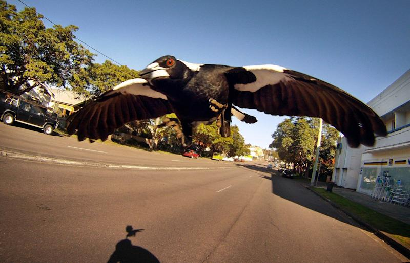 A magpie swoops a cyclist along Lambton Road, New Lambton, in Newcastle. (Photo: Fairfax Media via Getty Images)