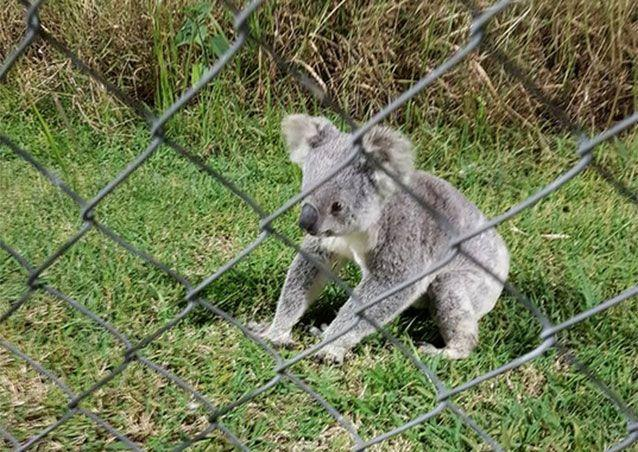 The koala was placed behind the sports ground fence to prevent it coming back into the game. Pictures: Facebook/Noosa Lions Football Club