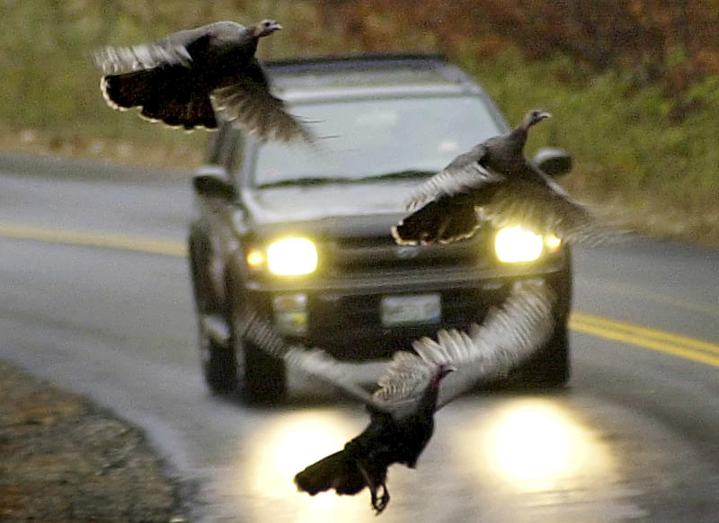 With turkeys gone wild, Maine expands hunting