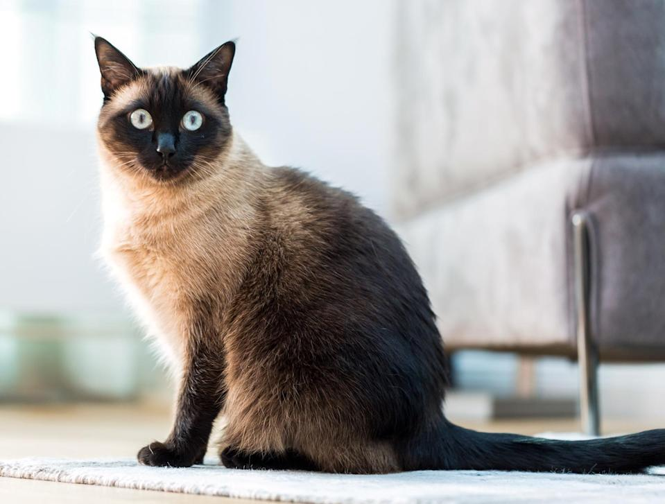 "<p><a href=""https://www.dailypaws.com/cats-kittens/cat-breeds/siamese"" rel=""nofollow noopener"" target=""_blank"" data-ylk=""slk:Siamese"" class=""link rapid-noclick-resp"">Siamese</a> cats are highly trainable but you'll still have to make them think that the training is their idea. People enjoy these cats as companions because of their talkative nature, too.</p>"