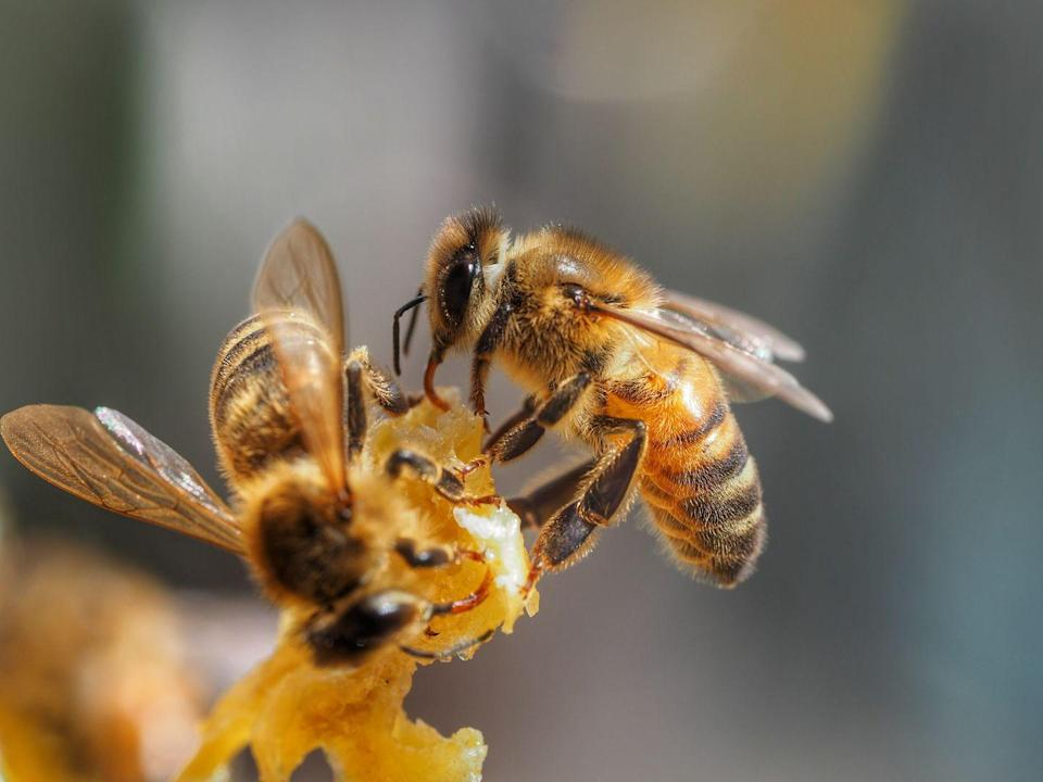 <p><strong>Honey Bee <br><br></strong>It makes sense that the Garden State would pick these prolific pollinators as their top bug. </p>