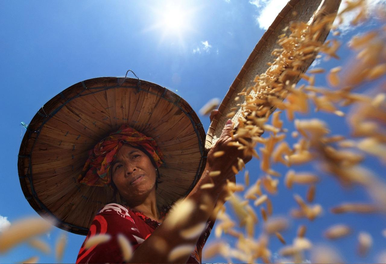 'Farmer under the Sun' by Alamsyah Rauf in South Sulawesi, Indonesia. A farmer dries her rice under the hot sun, her head protected by a large hat and scarf (Alamsyah Rauf)