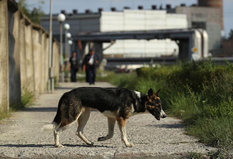 A stray dog saunters outside the Chernobyl nuclear power plant on August 18, 2017.
