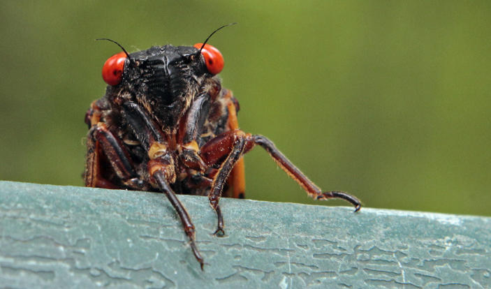 FILE - A cicada peers over a ledge in Chapel Hill, N.C., on May 11, 2011. Swarms of the red-eyed bugs reemerging after 17 years below ground offer a chance for home cooks to turn the tables: making the cicadas into snacks. Full of protein, gluten-free, low-fat and low-carb, cicadas were used as a food source by Native Americans and are still eaten by humans in many countries. (AP Photo/Gerry Broome, File)
