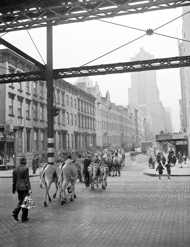 <p>Just off the train from winter quarters in Florida, camels and zebras make their west on East 49th Street to Madison Square Garden in New York, April 3, 1942. The animals are here for the season's opening of the Ringling Bros. and Barnum & Bailey Circus. (AP Photo/John Lindsay) </p>