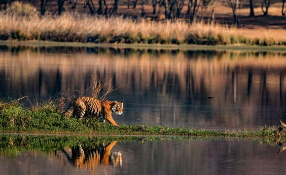 Madhya Pradesh is home to 70 per cent of the world's wild tigers (Getty/iStock)