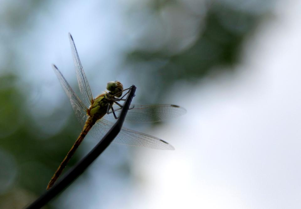 A dragonfly rests in a garden in Belgrade, Serbia, Thursday, July 11, 2013. Weather forecasts predict sunny weather for the next few days in Serbia. (AP Photo/Darko Vojinovic)