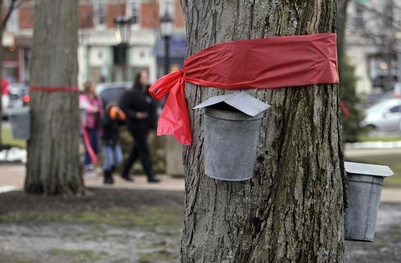Red ribbons in remembrance of school shooting victims encircle a maple tree above sap collecting buckets on the square in Chardon, Ohio Tuesday, Feb. 28, T.J. Lane, 17, admitted taking a .22-caliber pistol to Chardon High School along with a knife and firing 10 shots at a group of students sitting at a cafeteria table Monday morning, Prosecutor David Joyce said. Three of the five students wounded in the attacks have since died. (AP Photo/Mark Duncan)