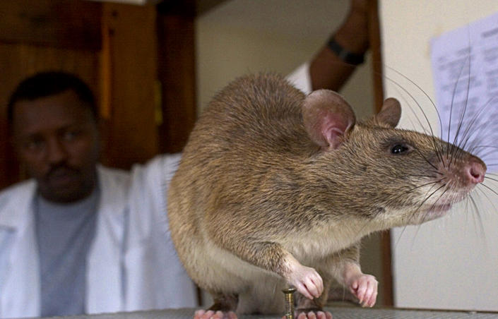 The African Giant Pouch rat is native to Africa but has been spotted on Grassy Key in Florida. It is the largest rat in the world, growing to be as big as a raccoon and weighing up to 8.8 pounds. Despite ecological efforts to kill the rat in Florida, it has survived. REUTERS/Sala Lewis