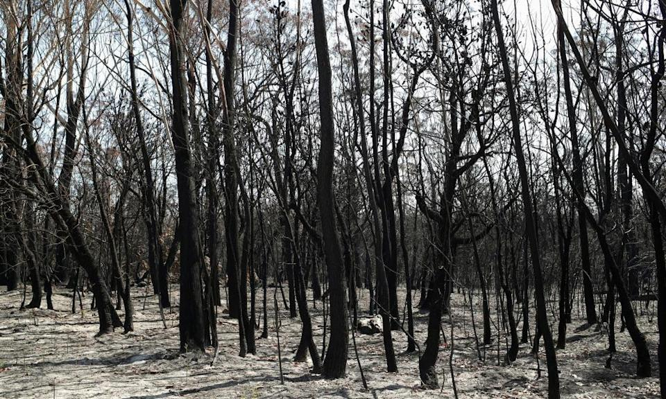 Charred trees in a patch of forest burnt during the recent bushfires near Batemans Bay, New South Wales, Australia, January 22, 2020.