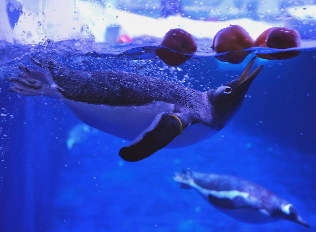 Gentoo Penguins bob for apples as a Halloween treat at the London Aquarium Tuesday Oct. 25, 2011. Gentoo penguins can grow to around 90cm high, and are the third largest of the 17 species of penguin, after the Emperor Penguin and King Penguin. (AP Photo/Dominic Lipinski/PA Wire)