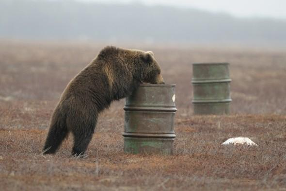 Bears in Russia addicted to sniffing fumes from barrels of aircraft fuel