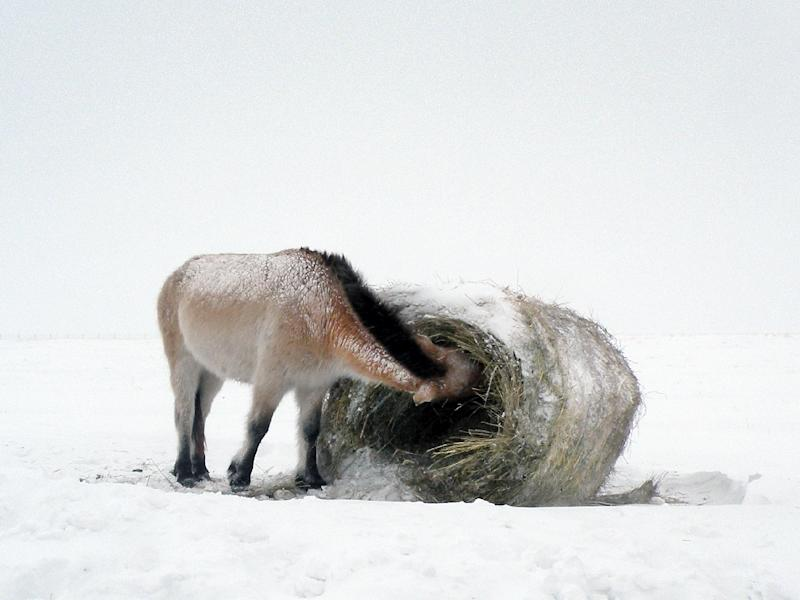 Native to China, the stocky, tan-coloured horse with a spiky mane once inhabited the Eurasian steppe extending through Mongolia, Kazakhstan, Russia and Ukraine (AFP Photo/Tatjana Zharkikh)