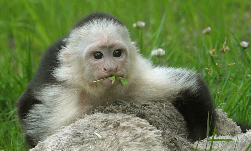 White headed capuchin monkey Mally sits in the new monkey open-air enclosure at Serengeti Park near Hodenhagen, Germany, Wednesday June 26, 2013. Mally the monkey, Canadian pop singer Justin Bieber's former pet, has emerged from quarantine at his new German home three months after his then-owner brought him to the country. The 27-week-old capuchin monkey moved Wednesday into a new enclosure at the Serengeti Park in Hodenhagen, in northern Germany. (AP Photo/dpa,Holger Hollemann)