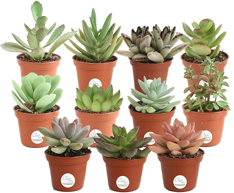 """<h2>Costa Farms Succulents Indoor Plants 11-Pack </h2><br><br><strong>Costa Farms</strong> Unique Succulents Indoor Plants 11-Pack, $, available at <a href=""""https://amzn.to/3jVPXtr"""" rel=""""nofollow noopener"""" target=""""_blank"""" data-ylk=""""slk:Amazon"""" class=""""link rapid-noclick-resp"""">Amazon</a>"""