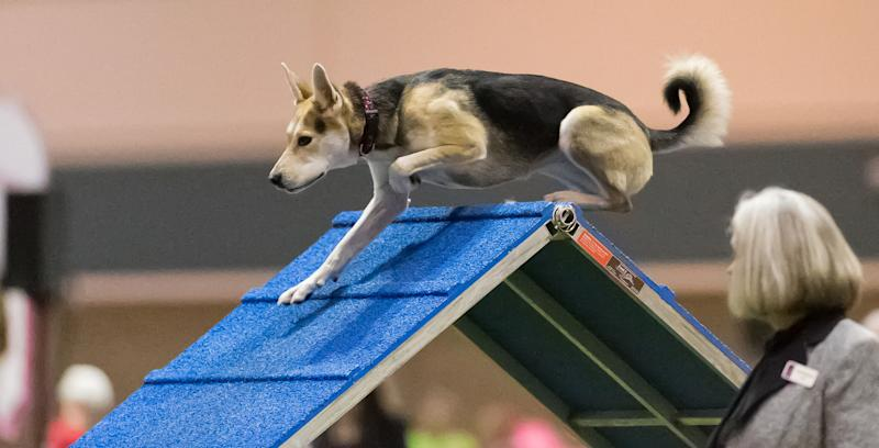In this Dec. 15, 2012 photo provided by Great Dane Photos, Roo!, a husky mix, goes over an obstacle during agility competition in Orlando, Fla. Roo! will compete at the Westminster Kennel Club Dog Show's agility competition in February 2014. When the nation's foremost dog show added an event open to mixed breeds, owners cheered that everydogs were finally having their day. (AP Photo/Great Dane Photos, Amy Johnson) NO SALES