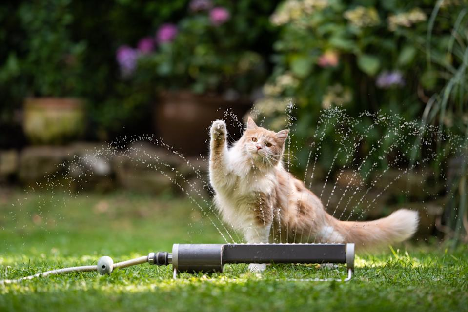 1 year old cream tabby ginger maine coon cat playing with lawn sprinkler water fountain outdoors in the garden raising it's paw