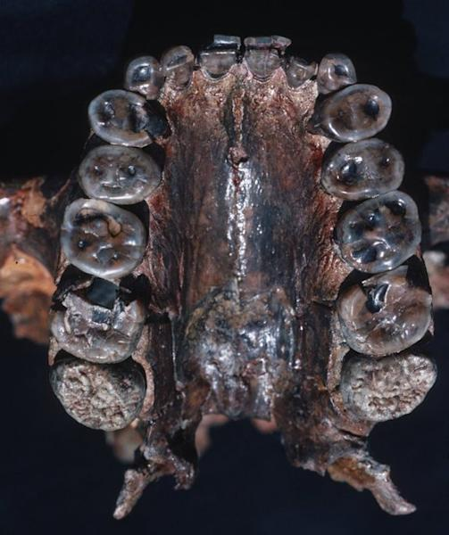 This image shows the palate and maxillary teeth of <em>Paranthropus boisei</em>, also called Nutcracker Man.