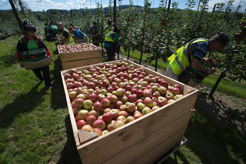 Apple pickers often travel from mainland Europe, but this year many are not returning to their seasonal jobs because of the virus (Photo: British Apples and Pears)