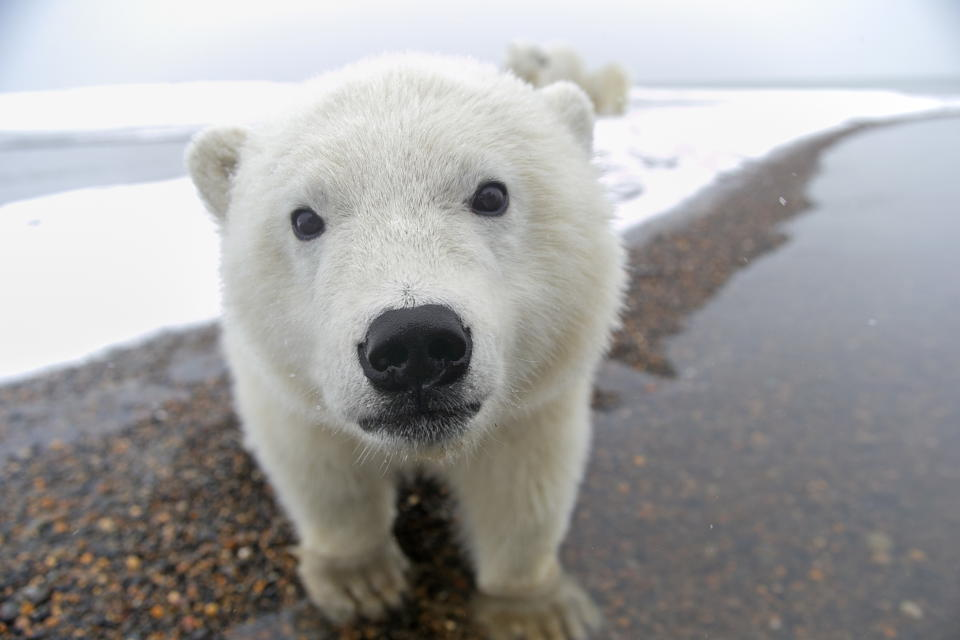 Polar bears may be cute but their living environment is under threat (Sylvain CORDIER/Gamma-Rapho via Getty Images)
