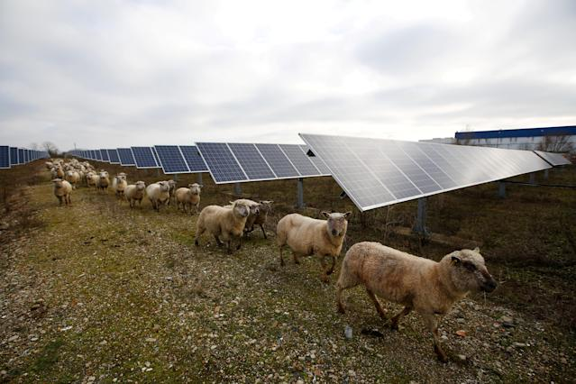 Sheep are herded at a photovoltaic power plant in Allonnes near Le Mans, France January 8, 2018. REUTERS/Stephane Mahe TPX IMAGES OF THE DAY