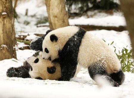 Giant Panda mom Mei Xiang (L) and her cub Bao Bao (R) wrestle in the snow at the Smithsonian National Zoo in Washington January 27, 2015. REUTERS/Gary Cameron