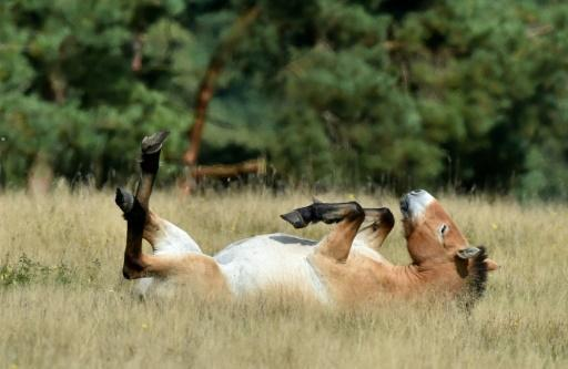 <p>All the wild horses are extinct: study</p>