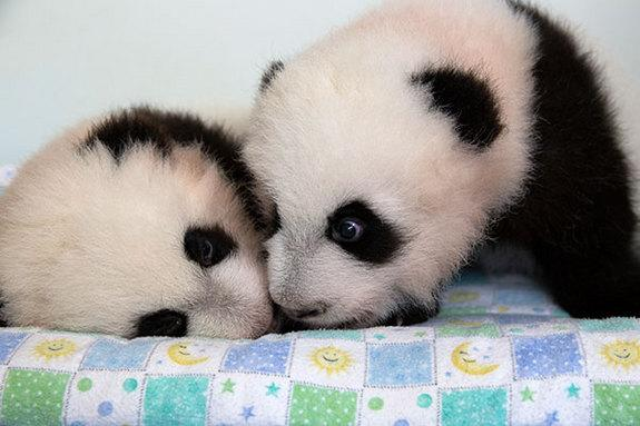 100 Days! Twin Panda Cubs Get Names