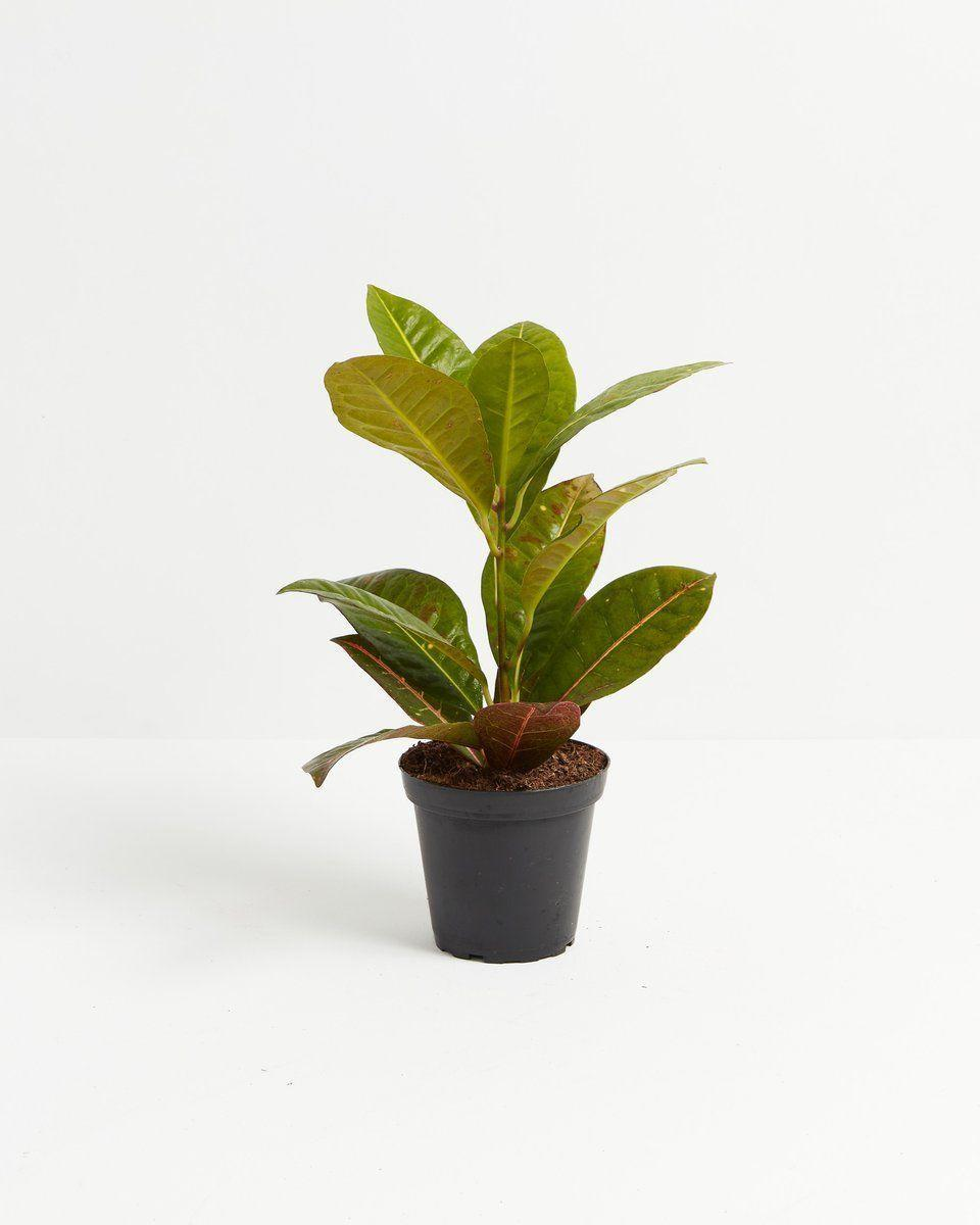 """<p><strong>Lively Root</strong></p><p>livelyroot.com</p><p><strong>$36.00</strong></p><p><a href=""""https://www.livelyroot.com/products/croton-petra?variant=39389423272018"""" rel=""""nofollow noopener"""" target=""""_blank"""" data-ylk=""""slk:Shop Now"""" class=""""link rapid-noclick-resp"""">Shop Now</a></p><p>Snag this tropical plant that gets more colorful the more sun it gets. It's a great pick for those who are looking for a low-maintenance leafy friend. If this sounds like you and your kitchen, add to cart RTFN.</p>"""