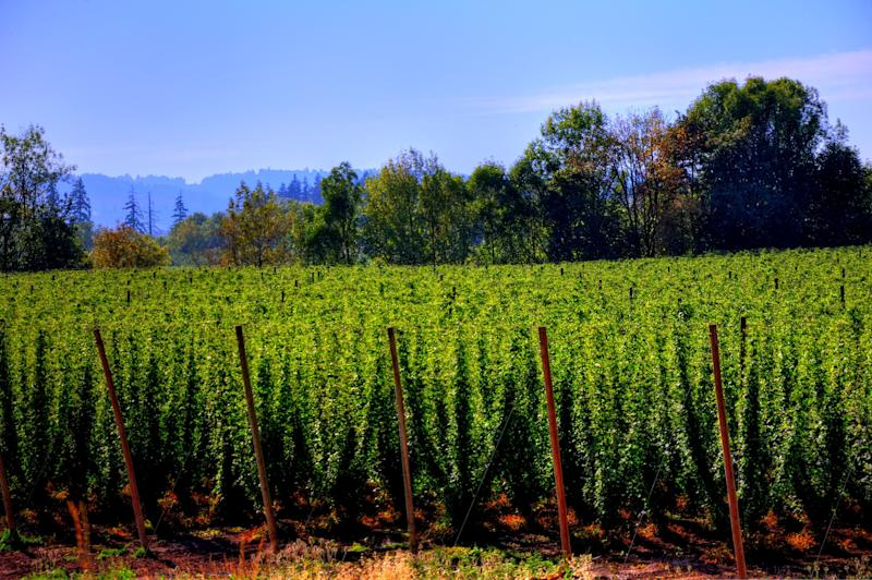 American Hop Harvest Breaks Record for Third Year in a Row