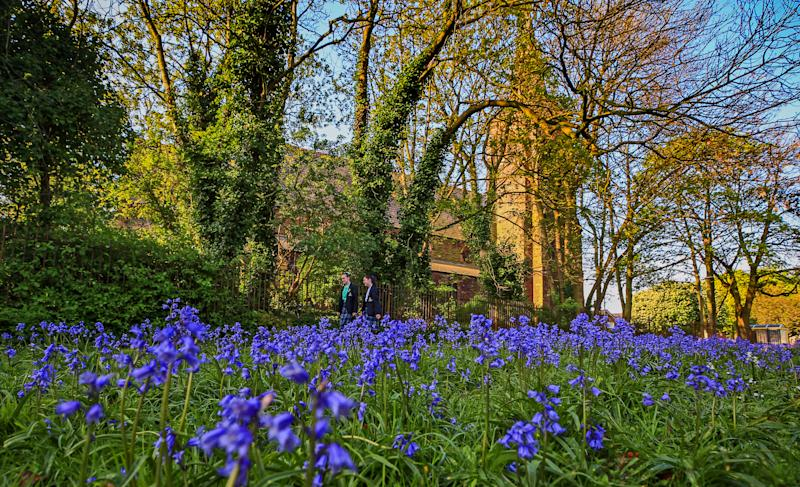 Bluebells in bloom in a field in Gateacre, Liverpool. (Photo by Peter Byrne/PA Images via Getty Images)