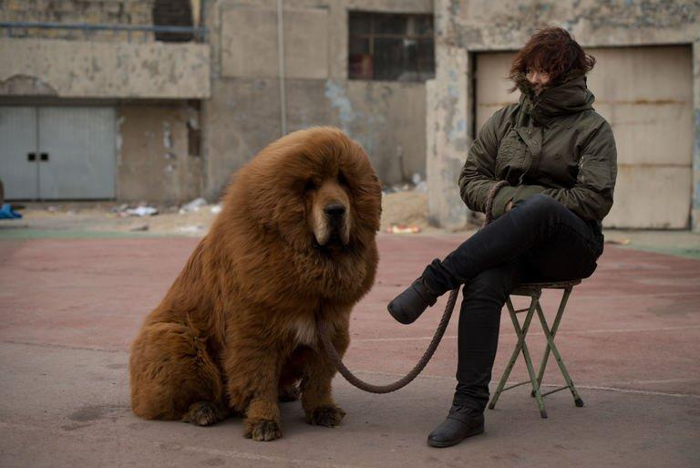 A Tibetan mastiff dog is displayed for sale at a mastiff show in Baoding, Hebei province, on March 9, 2013