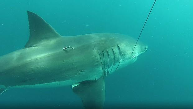 Monster Great White Shark as Big as a Bus Tagged by Australian Researchers
