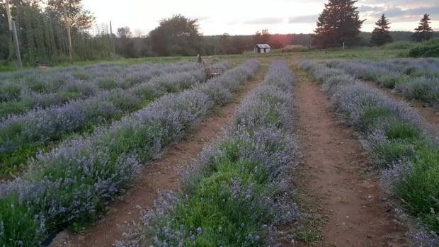 Four Girls Lavender farm was named after Alain Côté's four daughters. His family opened the Salisbury area farm to the public this summer, after spending last year planting 220 lavender plants. (Four Girls Lavender/Facebook - image credit)