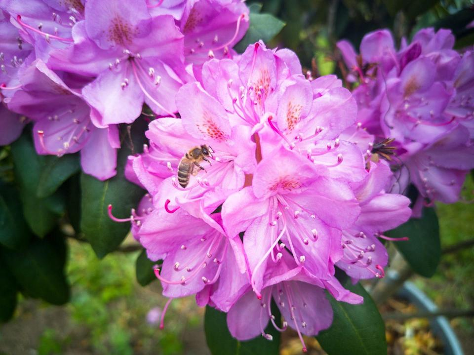 <p><strong>Honey Bee<br><br></strong>The West Virginia state insect is seen here on the state's flower, the Rhododendron. <strong><br></strong></p>