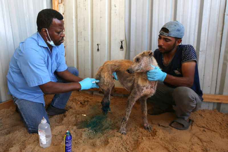 Palestinians treat a dog, which was wounded during the recent Israeli-Palestinian fighting, in Gaza