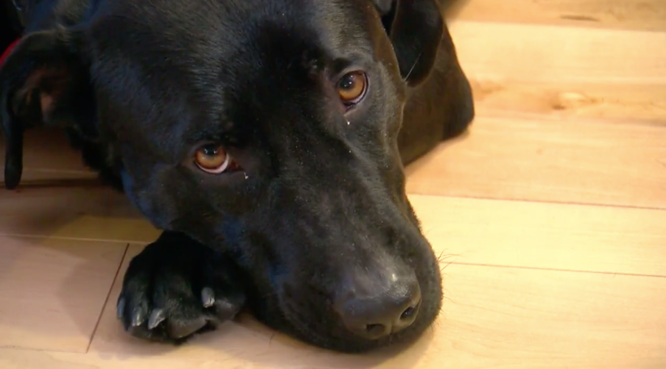 An 87-year-old woman credit's her neighbor's dog, Midnight, with saving her life after she fell in her yard in below zero temperatures. (Photo: CBS Minnesota)